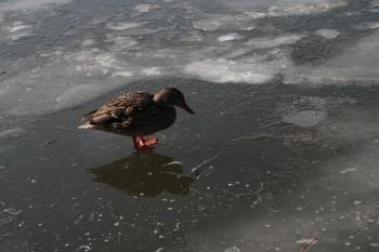 Ente auf Glatteis